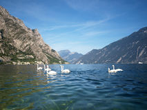 Seven swans shoot on the Garda lake Royalty Free Stock Photos