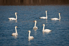 Seven Swans A Swimming Stock Photography