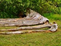 Seven-tree. Royalty Free Stock Photography