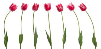Seven tulips Royalty Free Stock Photos