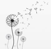 Seven vector dandelions. Seven dandelions. Wind is blowing on them. Black and white. Vector illustration Stock Photography