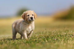 Seven week old golden retriever puppy Stock Images