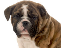 Seven week old puppy Royalty Free Stock Photo