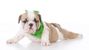 Seven week old puppy Stock Photography