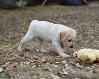 Very young Yellow Labrador Retriever Puppies playing outside for the first time stock images