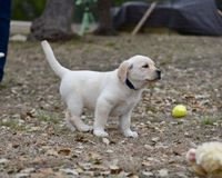 Very young Yellow Labrador Retriever Puppies playing outside for the first time royalty free stock photography