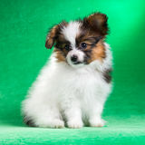 Seven-week puppy Papillon Stock Images
