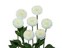 Seven White Dahlia Royalty Free Stock Image