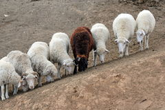 Seven white and one brown sheep stock photo