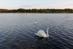 Seven white swans in a blue lake on sunset Stock Photography