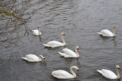 Seven white swans flowing Stock Photo