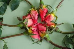 Seven wilted roses Royalty Free Stock Photo