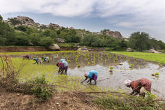 Seven women plant rice stalks in a paddy. Royalty Free Stock Photography