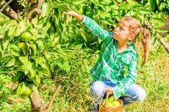 Seven year old girl picking clementines from her garden. Seven year old girl is picking clementines from her garden royalty free stock images
