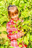 Seven year old girl picking clementines from her garden. Seven year old girl is picking clementines from her garden stock photo