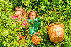 Seven year old girls picking clementines from her garden. Seven year old girls are picking clementines from her garden royalty free stock image