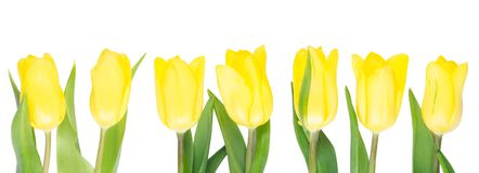 Seven yellow tulips grow up straight, against white. Background Royalty Free Stock Photo