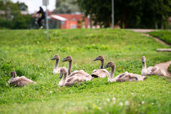 Seven young swans in the town sitting in grass Royalty Free Stock Photos