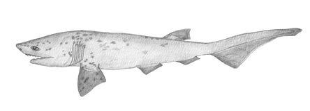 Sevengill shark. Hand drawn black pencil realistic illustration.
