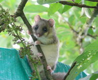 Sevensleeper. A small mammal in the apple tree Stock Image