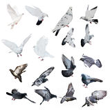 Seventeen doves isolated on white background Royalty Free Stock Photos