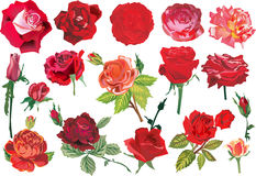 Seventeen red roses collection. Illustration with rose decoration isolated on white background Royalty Free Illustration