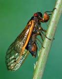 Seventeen-year Cicada Injecting Its Eggs Royalty Free Stock Photo