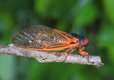 Seventeen Year Periodical cicada. Close- up view of a seventeen year periodical cicada Royalty Free Stock Images