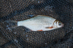 Several ablet or bleak fish, roach and bream fish on the natural Stock Photos