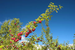 Several apples on a branch. Bright red and ripe apples on a branch against a deep blue sky Stock Images