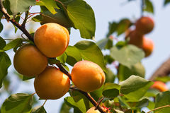 Several apricots on a branch. Four apricots on a tree with several others blurred in the background royalty free stock images