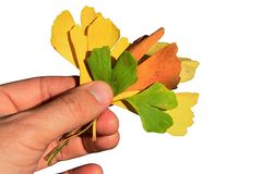 Several autumn leaves of Ginkgo Biloba held in adult male person left hand, white background. Taken in natural autumn sunshine Royalty Free Stock Images