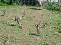 Rhea chicks Royalty Free Stock Image