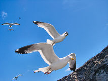 Several beautiful seagulls fly in the sky Stock Photos