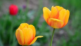 Several beautiful yellow tulips closeup stock video