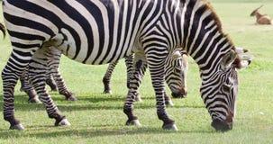 Several beautiful zebras close-up Stock Image