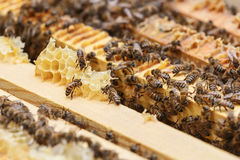 Several bees eat the remains of honey from honeycombs in a hive Stock Images