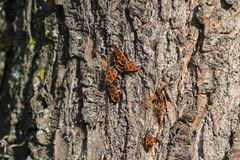 Several beetles of firebug on the bark of a tree. Pyrrhocoris apterus stock images
