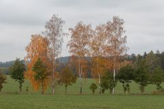 Several birch trees in a field stock image