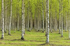 Several birches. Birch trees with their green leaves in early summer Stock Image