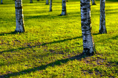 Several birches grow in the park Royalty Free Stock Image