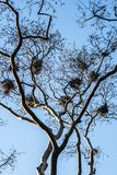 Several Bird Nests in the Branches of a Leafless Tree stock image