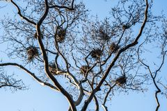 Several Bird Nests in the Branches of a Leafless Tree stock images