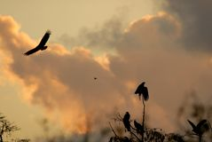 Fire Hazard. Several black vultures waiting out a large wildfire in south Florida royalty free stock image