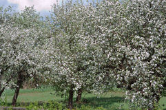 Several  blossoming apple trees Royalty Free Stock Photo