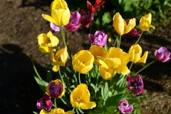 Several blossoming tulips. Stock Image