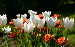 Several blossoming tulips. Royalty Free Stock Photography