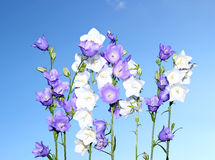 Several blue and white bell flowers Stock Photography