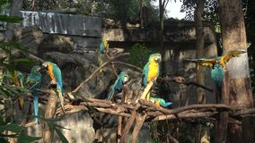 Several blue-and-yellow macaw Ara ararauna. Chiang Mai. Thailand stock video footage