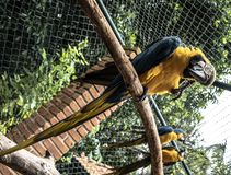 Colored, blue and yellow Macaws of Brazil stock photo